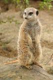 Meerkat Imagem de Stock Royalty Free