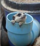 组meerkat纵向 库存照片
