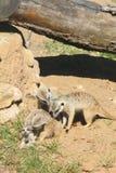 Meerkat. Stock Photos