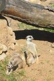 Meerkat. Royalty Free Stock Photos