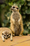 Meerkat. Looking around and checking out it's surroundings Royalty Free Stock Images
