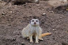 Meerkat. A curious meerkat in its natural environment stock image