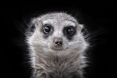 Meerkat. Zoom Meerkats head on black Stock Photography