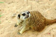 meerkat Arkivbilder