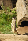 Meerkat Imagen de archivo