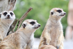 Meerkat. Group of meerkat are looking to something Royalty Free Stock Photo