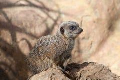 Meerkat Fotografia de Stock