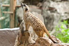 Meerkat. In zoo of thailand Royalty Free Stock Photo