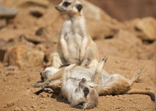Meerkat. The meerkat or suricate is a small mammal Royalty Free Stock Photos