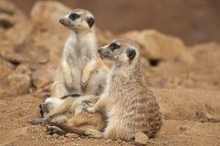 Meerkat. The meerkat or suricate is a small mammal Stock Image