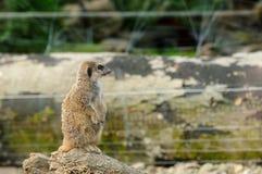 一逗人喜爱的meerkat 免版税库存图片