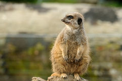 一肥胖meerkat 库存照片