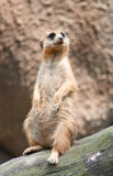 Meerkat. In the open on sentry duty Stock Image