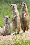 Meerkat. A portrait of a family Meerkat Royalty Free Stock Image