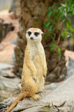 Meerkat. Royalty Free Stock Photos