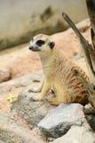 Meerkat. Stock Images