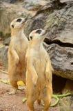 Meerkat. Stock Image