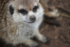 Meerkat Стоковое Изображение RF