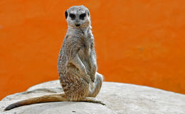The meerkat. A meerkat sitting down on a rock stock images