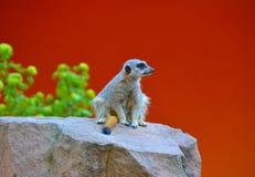 A meerkat Stock Photography