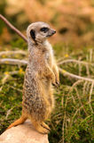 Meerkat. Close up of a Meerkat (suricata suricatta). The meerkat or suricate is a small mammal belonging to the mongoose family Royalty Free Stock Photography