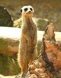 meerkat Obrazy Stock