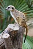 海岛猫鼬类Meerkat 库存照片