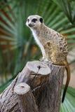 海岛猫鼬类Meerkat 图库摄影