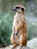 Meerkat. A small meerkat looking around royalty free stock images
