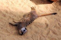一meerkat 库存图片