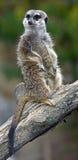 Meerkat 2 Fotografia de Stock Royalty Free