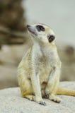 Meerkat. Imágenes de archivo libres de regalías