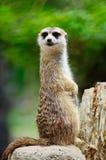 Meerkat Foto de archivo