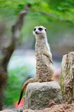 Meerkat 免版税库存照片