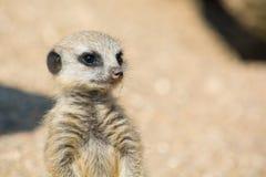 Meerkat Стоковые Фотографии RF