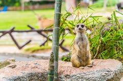 站立的Meerkat挺直。 免版税库存照片