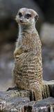 Meerkat 3 Foto de Stock Royalty Free