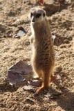 Meerkat 免版税库存图片