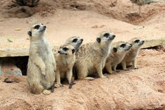 Meerkat. Little gorgeous guardians beware for enemy Royalty Free Stock Photography