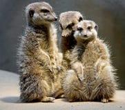 Meerkat 3 Foto de Stock