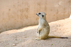 Meerkat royalty-vrije stock afbeeldingen