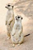 Meerkat Photo stock