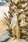 Meerkat.  Immagini Stock