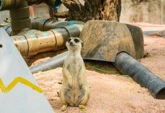 Meerkat.  Fotografia Stock Libera da Diritti