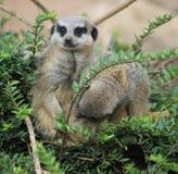Meerkat哺养 免版税库存照片