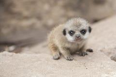 婴孩meerkat 库存照片