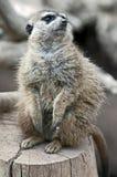 Meerkat Foto de Stock Royalty Free