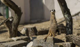Meerkat. fotos de stock royalty free