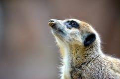 Meerkat Fotografie Stock Libere da Diritti