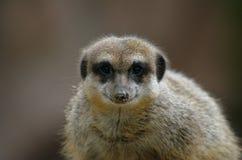 Meerkat Fotografia Stock Libera da Diritti